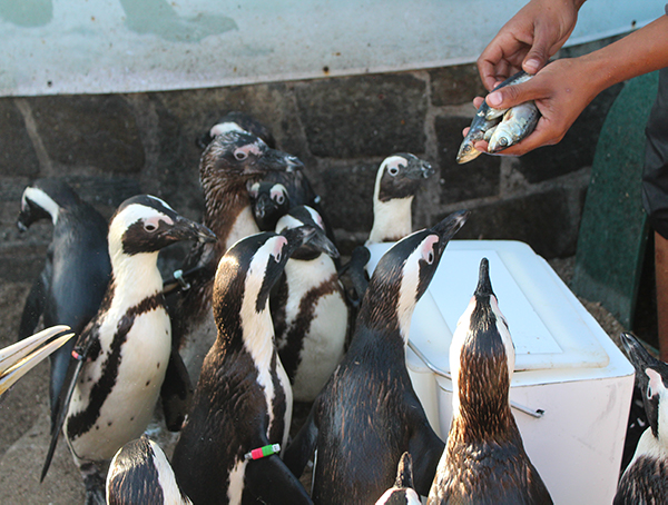 Chintsa East Activities - Penquins - Global Vet Experience