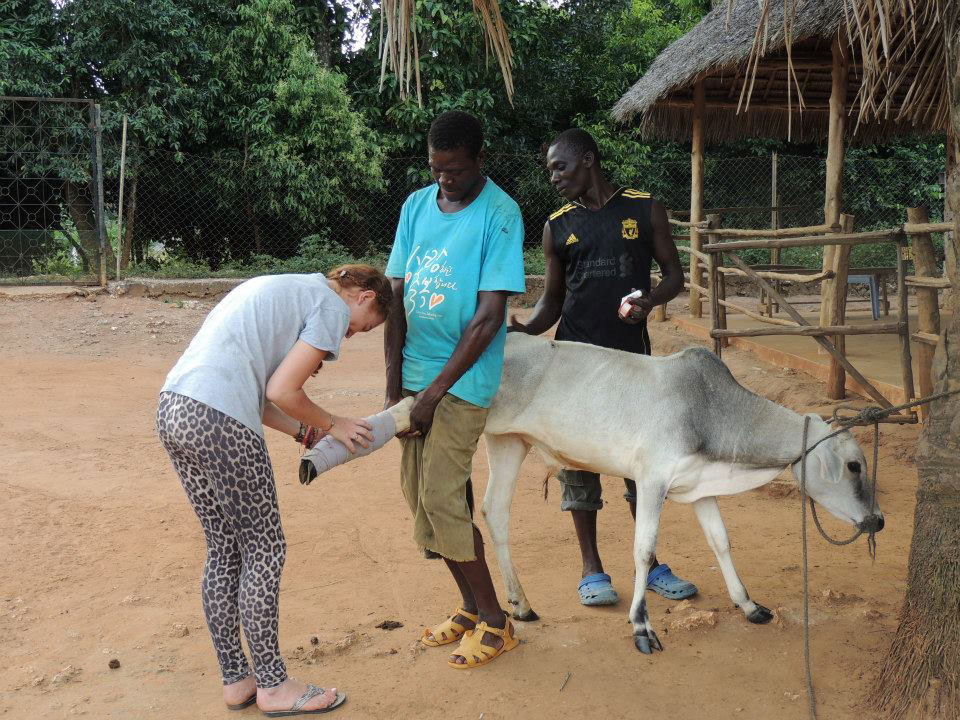 Vet-Experience-in-Tanzania-Cow---Global-Vet-Experience