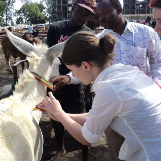 Vet-Experience-in-Tanzania-Mule---Global-Vet-Experience