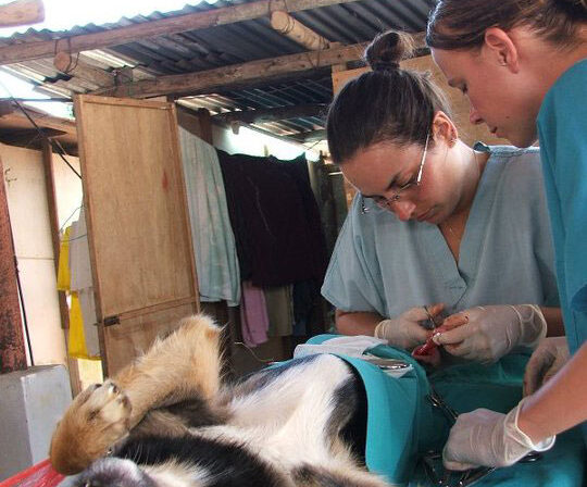 Vet-Experience-in-Thailand-Canine-Surgery---Global-Vet-Experience