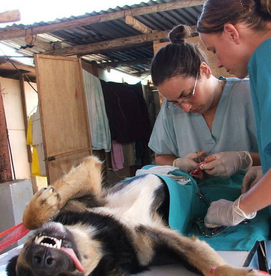 Surgical Vet Experience in Thailand Canine Neuter - Global Vet Experience