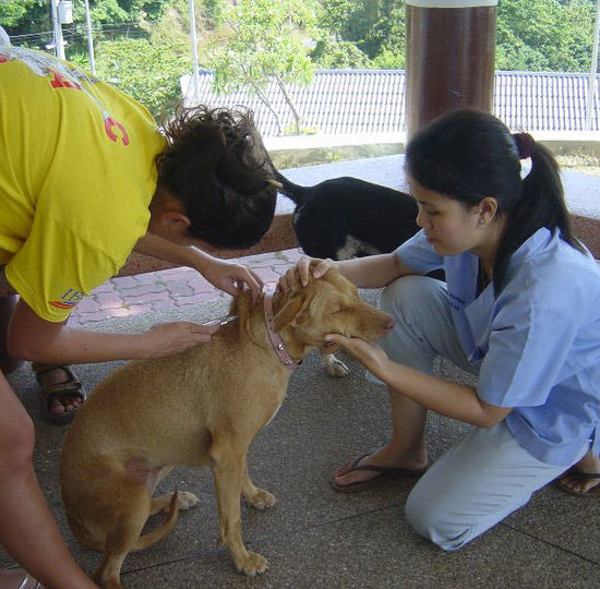 Surgical Vet Experience in Thailand Canine Vaccination - Global Vet Experience