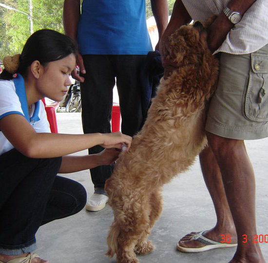 Vet-Experience-in-Thailand-Canine-Vaccinations---Global-Vet-Experience