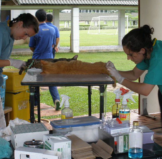 Surgical Vet Experience in Thailand Feline Examinations - Global Vet Experience