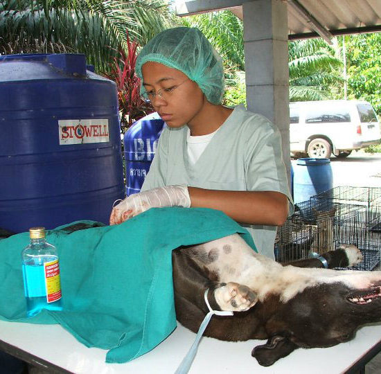 Surgical Vet Experience in Thailand Neuter - Global Vet Experience