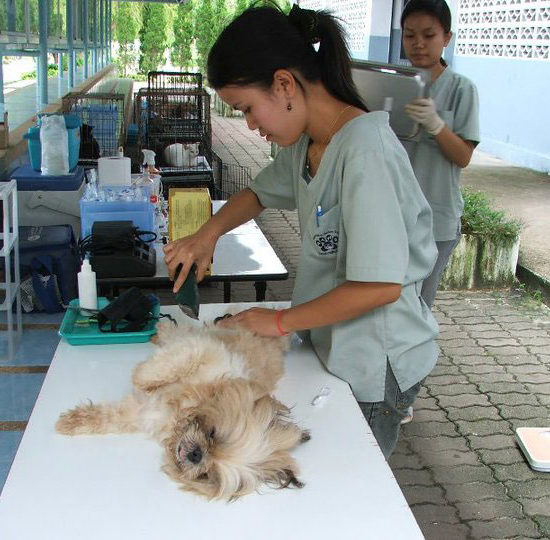 Surgical Vet Experience in Thailand Surgery Prep - Global Vet Experience