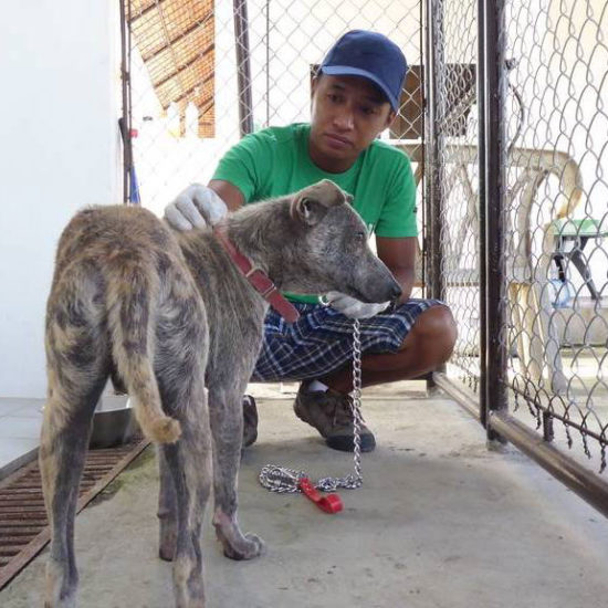 Vet-Experience-in-the-Philippines-Gray-Dog---Global-Vet-Experience