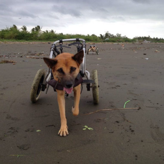 Vet-Experience-in-the-Philippines-Wheelchair---Global-Vet-Experience