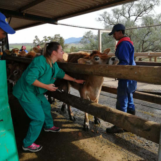 Vet Internship in South Africa Cows - Global Vet Experience