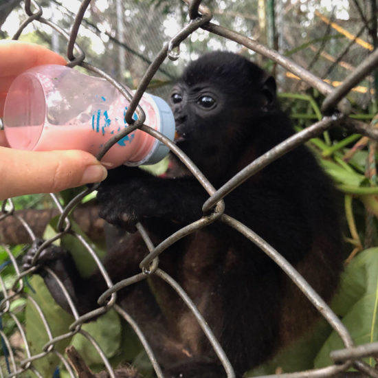 Wildlife Vet Experience in Costa Rica Baby Monkey - Global Vet Experience