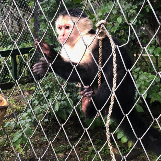 Wildlife Vet Experience in Costa Rica Capuchin - Global Vet Experience