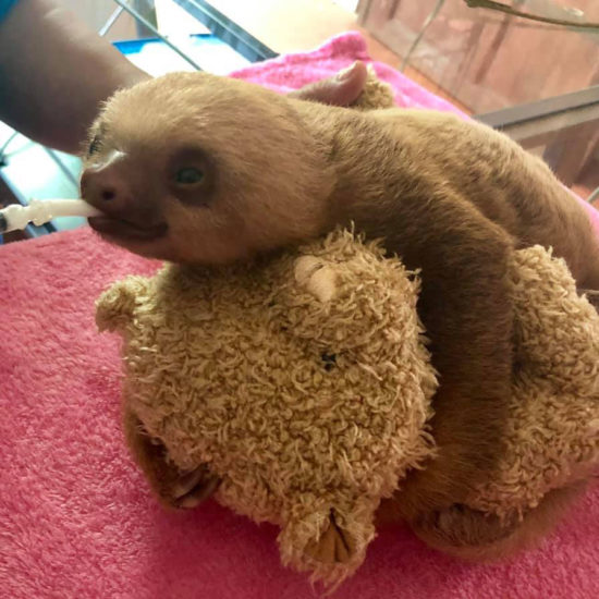Wildlife Vet Experience in Costa Rica Sloth Care - Global Vet Experience