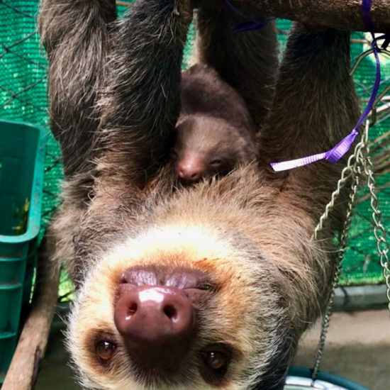 Wildlife Vet Experience in Costa Rica Sloth and Baby - Global Vet Experience