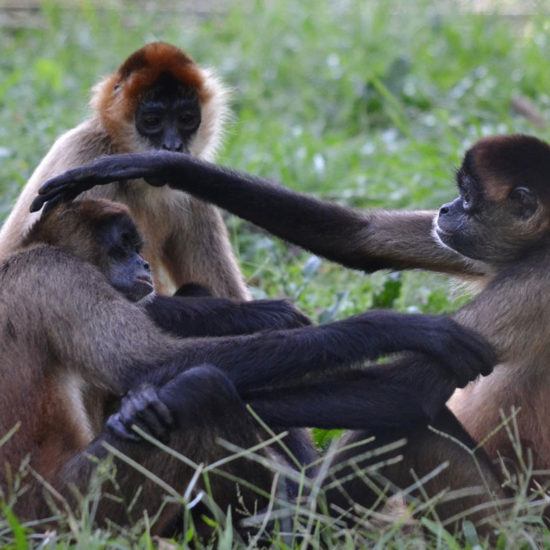 Wildlife Vet Experience in Costa Rica Spider Monkey - Global Vet Experience