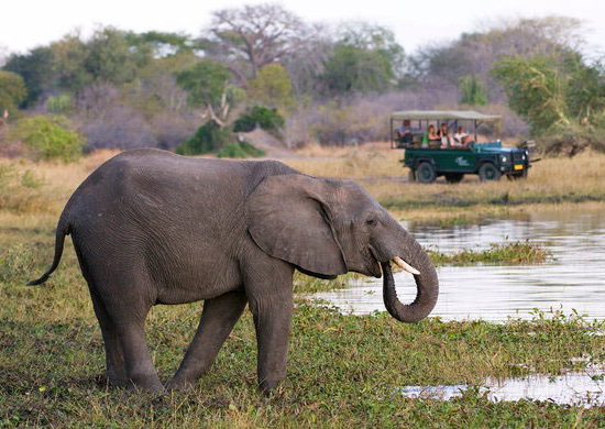 Wildlife-Vet-Experience-in-Malawi-Elephant---Global-Vet-Experience