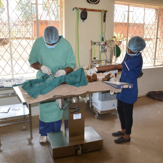 Wildlife-Vet-Experience-in-Malawi-Surgery---Global-Vet-Experience