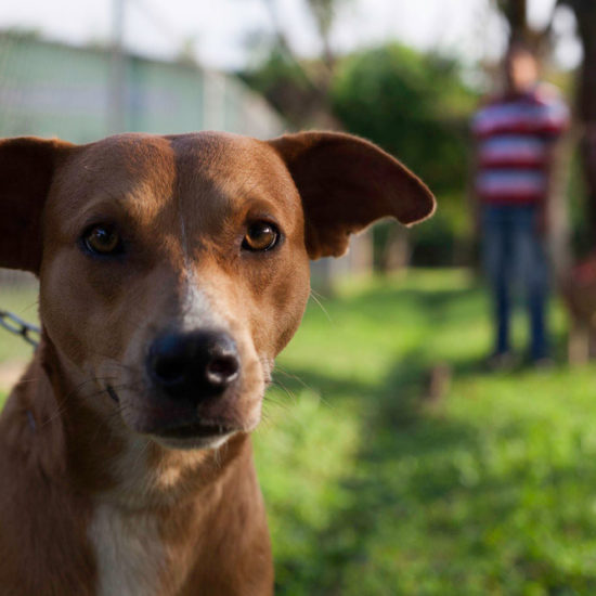 Vet-Experience-in-Panama-Brown-Dog---Global-Vet-Experience