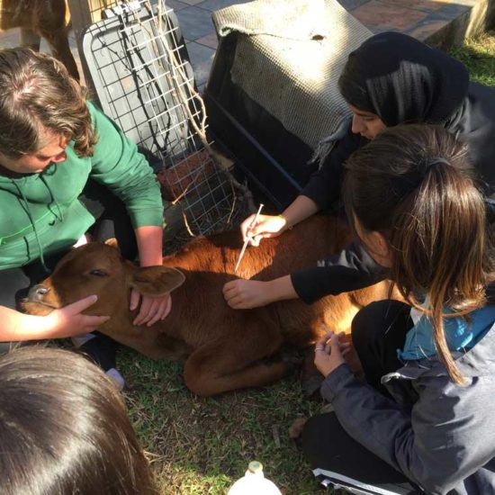 Vet-Experience-in-South-Africa-Cow---Global-Vet-Experience