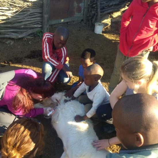 Vet-Experience-in-South-Africa-Goats---Global-Vet-Experience
