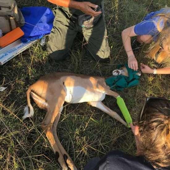 Wildlife-Vet-in-South-Africa-Baby-Impala---Global-Vet-Experience