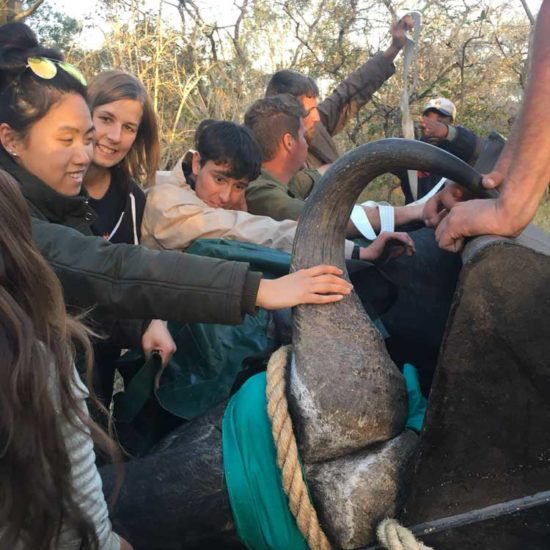 Wildlife-Vet-in-South-Africa-Buffalo---Global-Vet-Experience