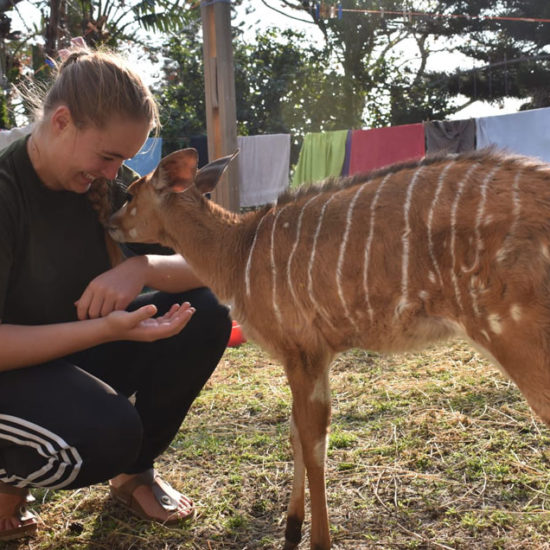 Wildlife-Vet-in-South-Africa-Fawn---Global-Vet-Experience