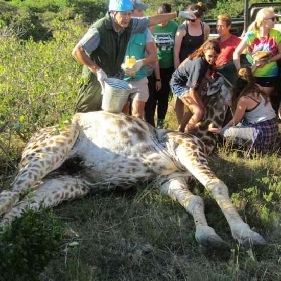 Wildlife-Vet-in-South-Africa-Giraffe---Global-Vet-Experience