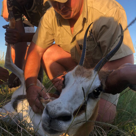 Wildlife-Vet-in-South-Africa-Juvenile-Impala---Global-Vet-Experience