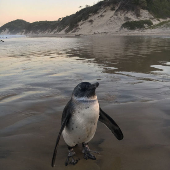 Wildlife-Vet-in-South-Africa-Penguin---Global-Vet-Experience