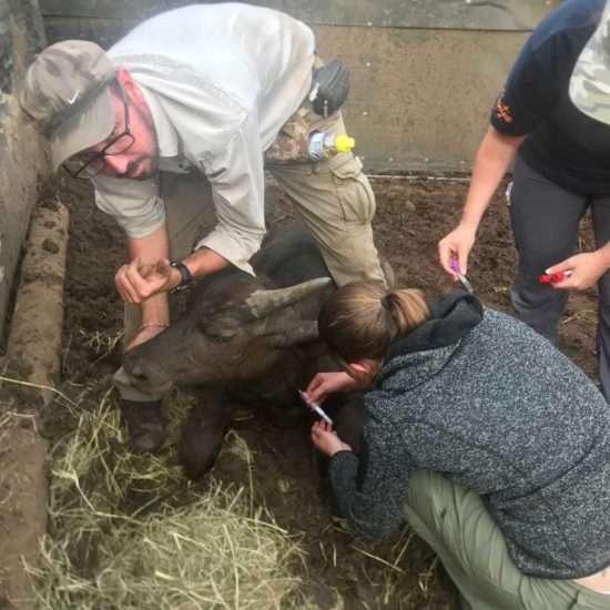 Wildlife-Vet-in-South-Africa-Shots---Global-Vet-Experience