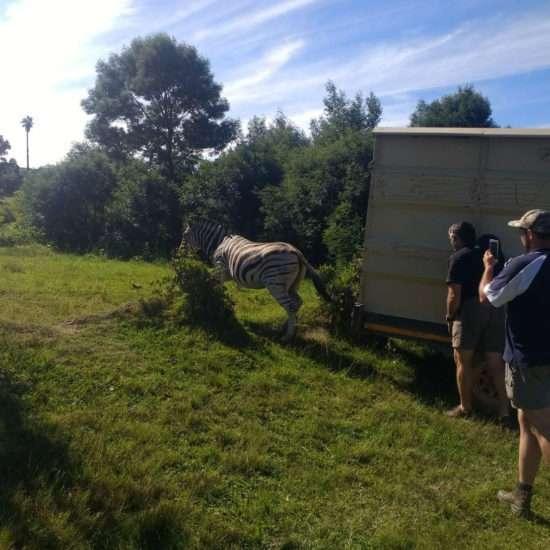 Wildlife-Vet-in-South-Africa-Zebra---Global-Vet-Experience