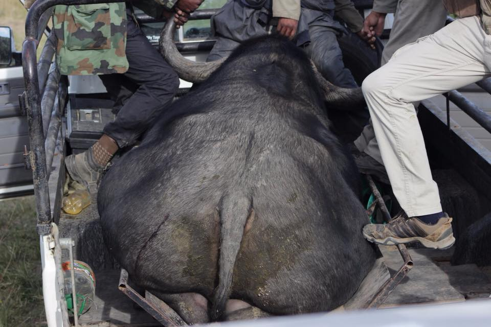 Buffalo in safari truck after capture - Global Vet Experience