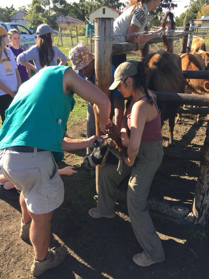 Performing a physical on cattle during Livestock Day - Global Vet Experience
