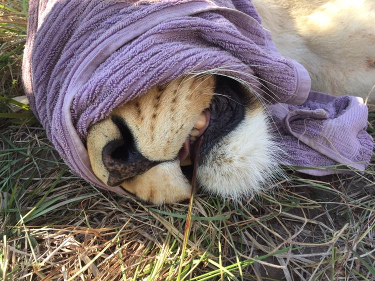 Lioness Resting With Her Eyes Covered During Procedure - Global Vet Experience