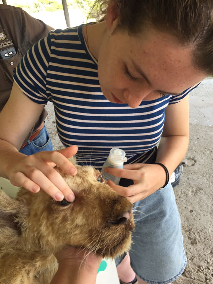 Administering Eye Drops to a Sick Lion Cub - Global Vet Experience