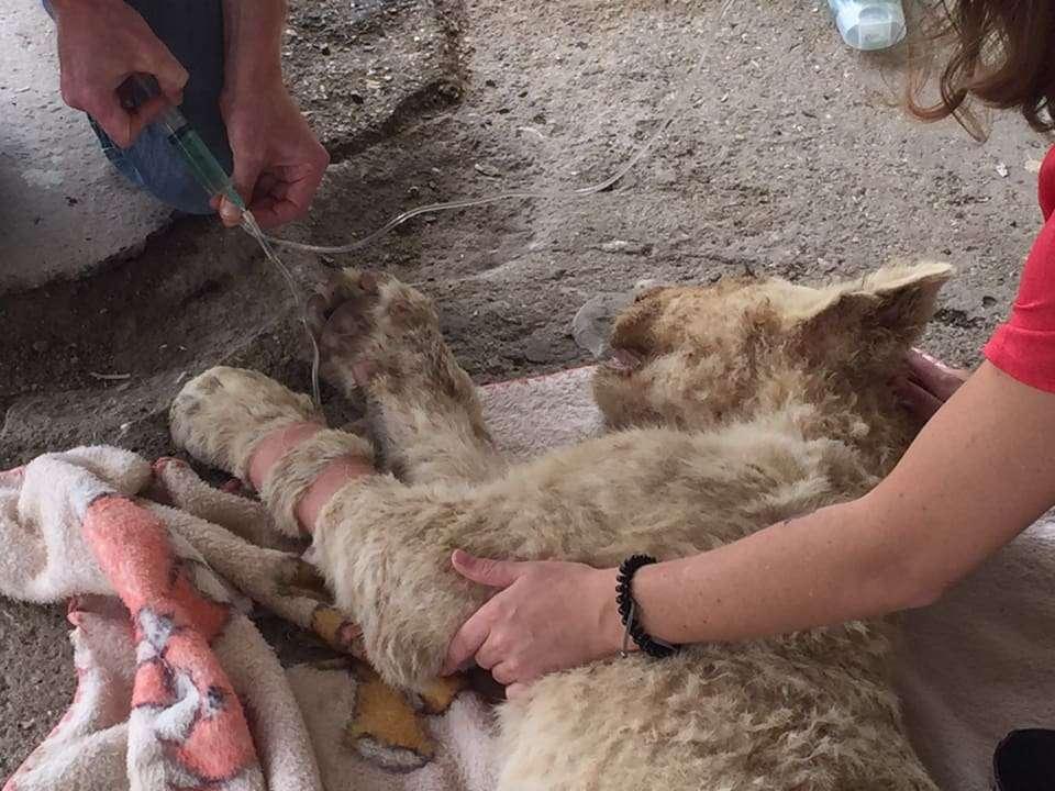 Ailing Lion Cub Receives IV Fluids - Global Vet Experience