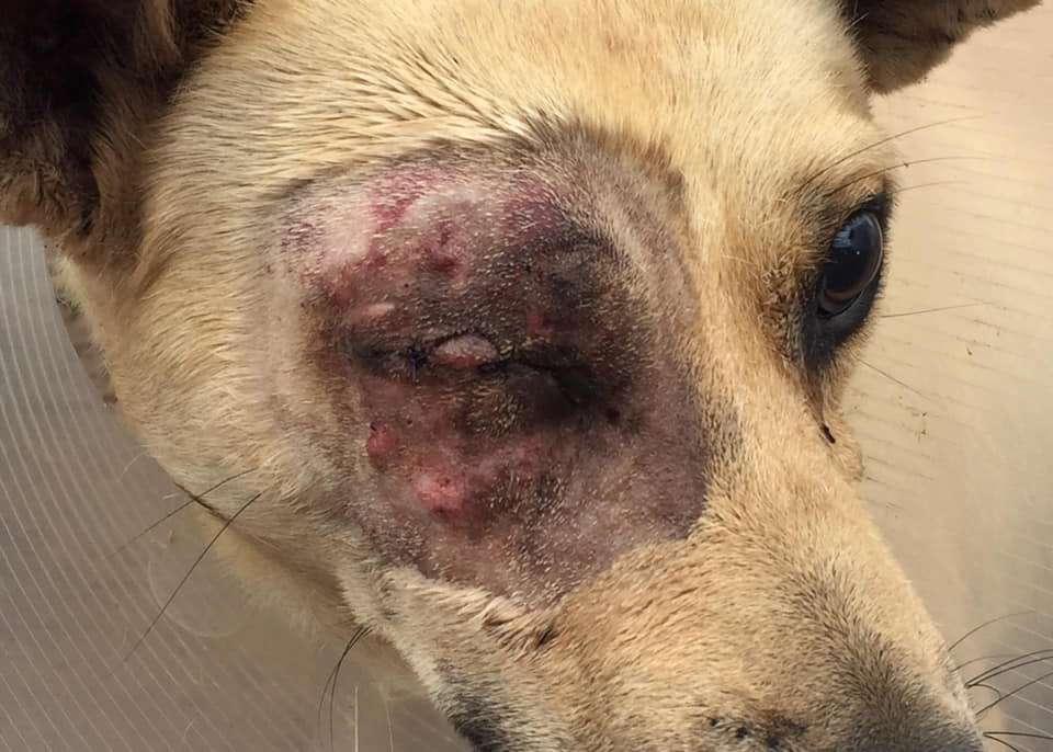 Mlungu Canine Eye Healing - Global Vet Experience