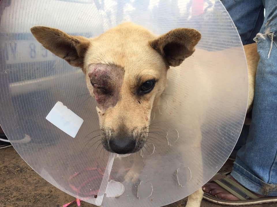 Mlungu Canine Eye Post Surgery - Global Vet Experience
