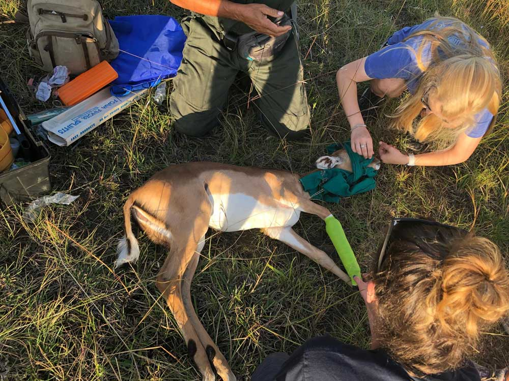 Wildlife-Vet-in-South-Africa-Baby-Impala---Global-Vet-Experience